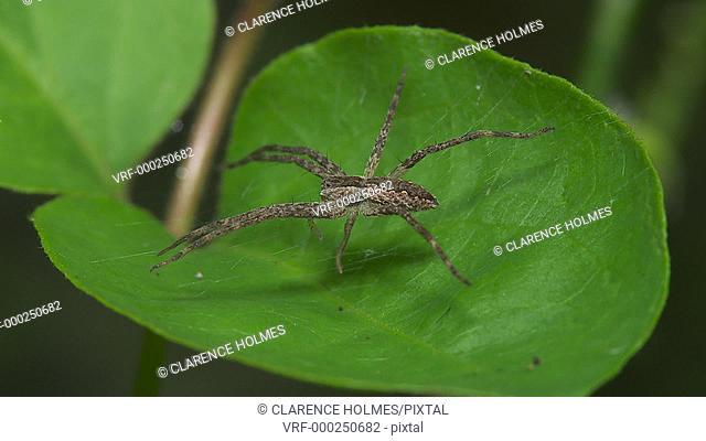 A Nursery Web Spider (Pisaurina mira) waits for prey on its web