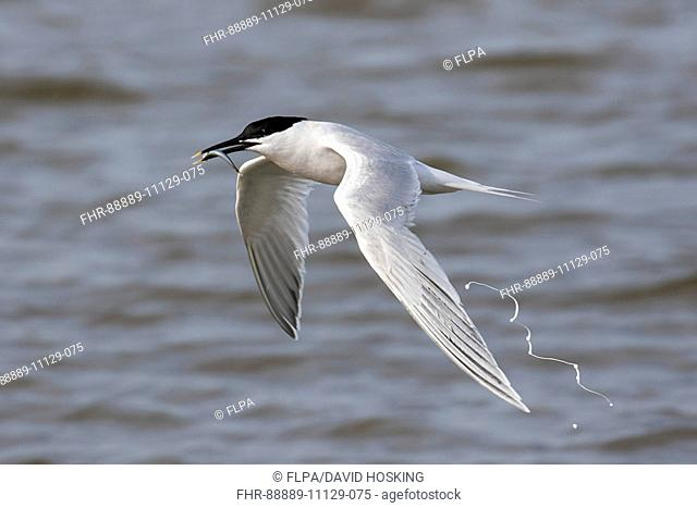 Sandwich Tern flying with sand eel and defecating, Scolt Head Island, Brancaster Harbour, North Norfolk