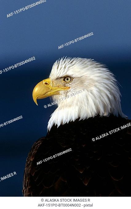 Bald Eagle Portrait Kenai Peninsula Winter AK