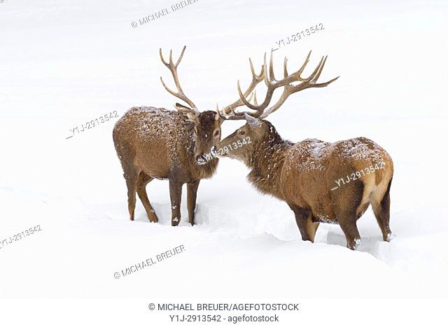 Red deers in Winter, Cervus elaphus, Bavaria, Germany, Europe
