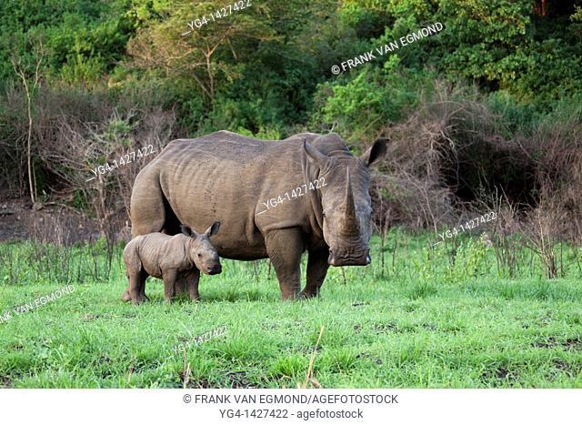 White Rhinoceros Ceratotherium Simum  Mother and Calf  Near Threatened   Hluhluwe Imfolozi Game Reserve  Kwazulu-Natal, South Africa  November 2010