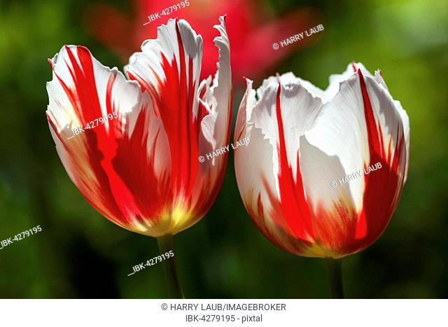 Red and white tulips (Tulipa sp.), Germany