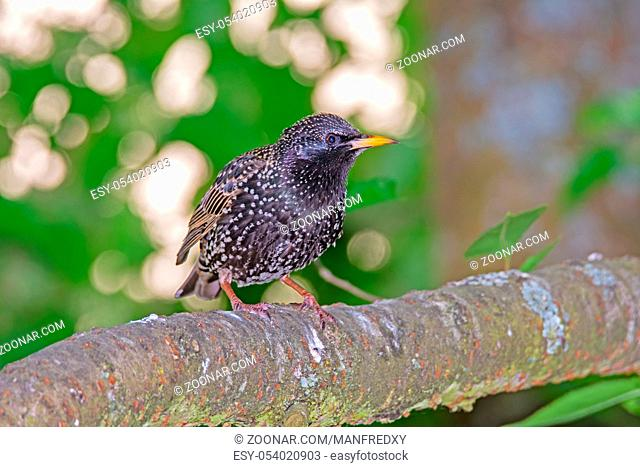 Closeup of Starling bird sitting on a tree branch