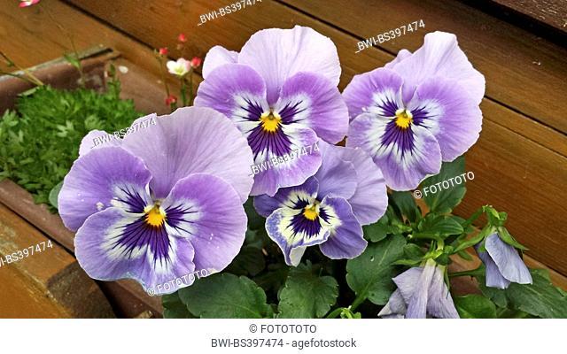 Pansy, Pansy Violet (Viola x wittrockiana, Viola wittrockiana, Viola hybrida), Pansy in a flower box, Germany