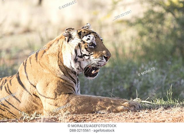 South Africa, Private reserve, Asian (Bengal) Tiger (Panthera tigris tigris), resting