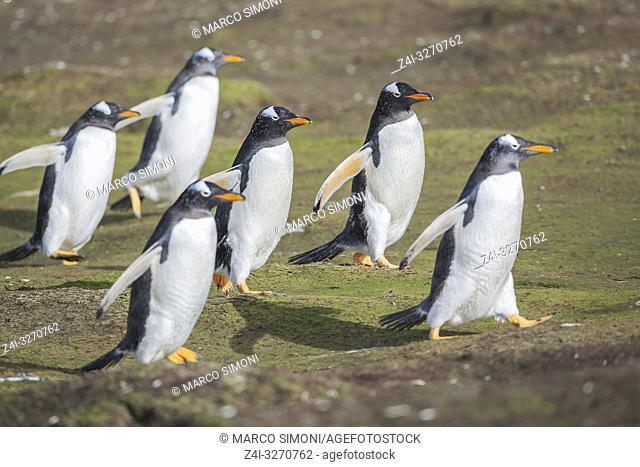Gentoo penguins (Pygocelis papua papua) walking together, Sea Lion Island, Falkland Islands, South America