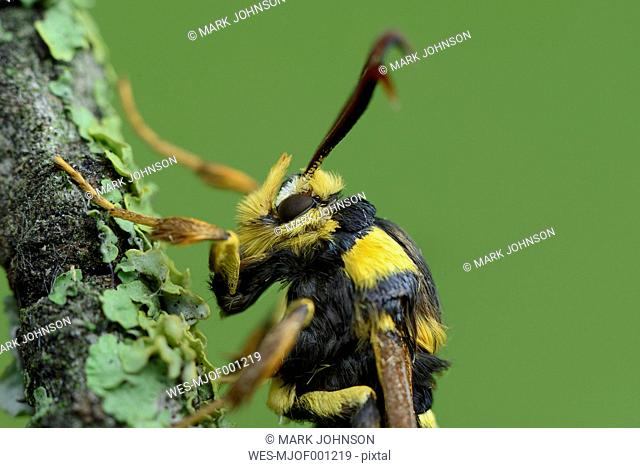 Hornet Clearwing on branch