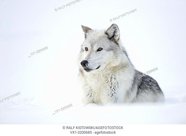 Gray Wolf ( Canis lupus) lying in snow, attentively watching, nice winter fur, with beautiful amber coloured eyes, Yellowstone, USA