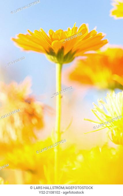 Low angle close up of orange to yellow marigold flowers growing in garden