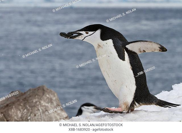 Adult chinstrap penguin Pygoscelis antarctica carrying rock in its beak at breeding colony at Half Moon Island, Antarctica, Southern Ocean