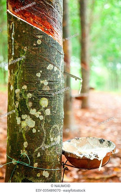 Latex being collected from a tapped rubber tree in Vietnam