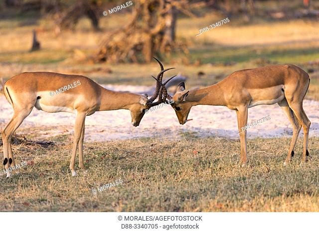 Africa, Southern Africa, Bostwana, Moremi National Park, Impala (Aepyceros melampus), two males fighting