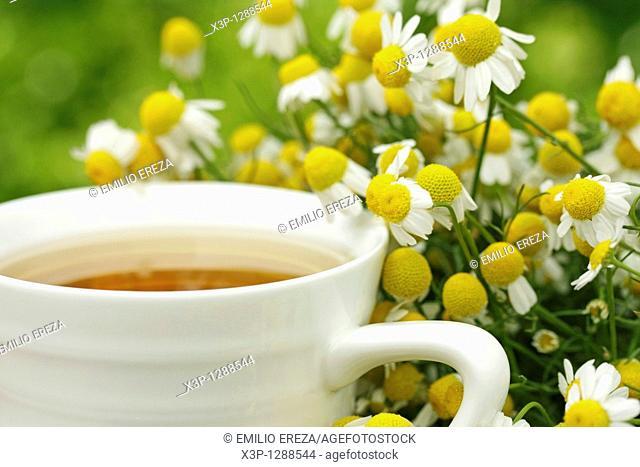 Camomile Matricaria chamomilla