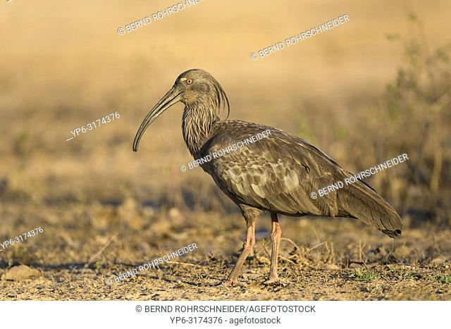 Plumbeous ibis (Theristicus caerulescens), adult standing on ground, Pantanal, Mato Grosso, Brazil