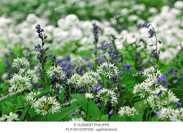 Wild garlic / Ramsons Allium ursinum and Bluebells Scilla non-scripta / Endymion nonscriptus / Hyacinthoides non-scripta, Belgium