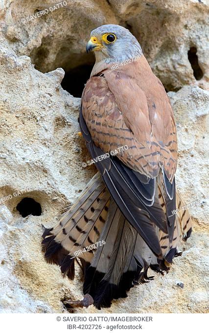 Lesser Kestrel (Falco naumanni), Immature male at nest entrance, Matera, Basilicata, Italy