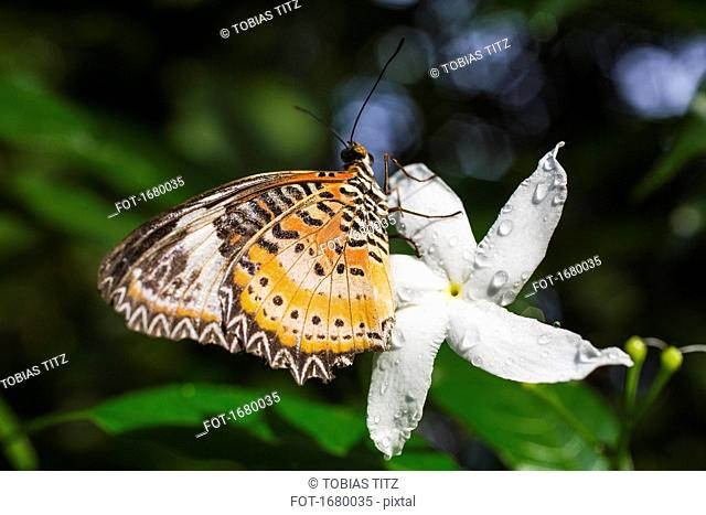 Close-up of butterfly resting on fresh white jasmine