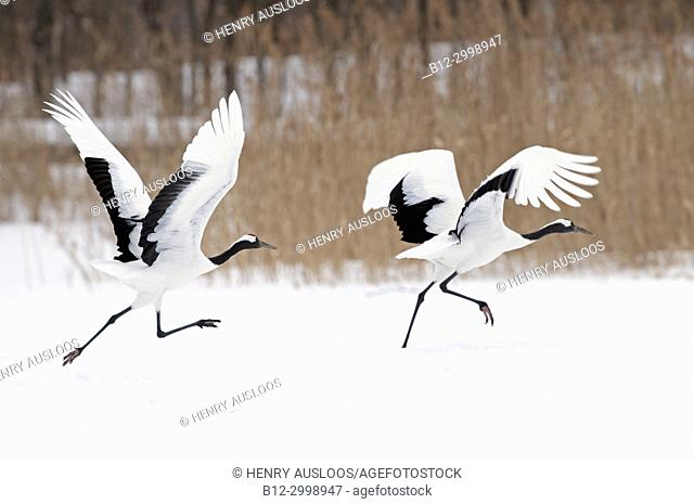 Japanese crane, Red-crowned crane (Grus japonensis) take-off, Japan