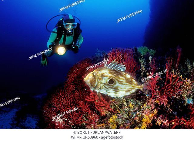 Scuba Diver and John Dory, Zeus faber, Svetac, Dalmatia, Adriatic Sea, Croatia