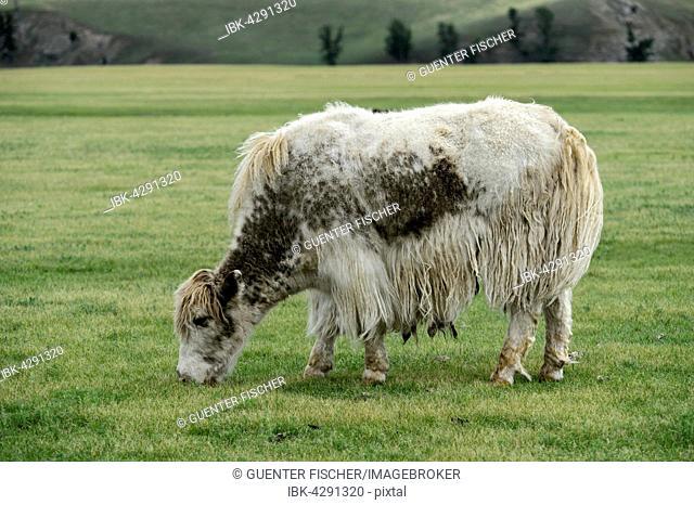 Grazing light brown yak (Bos mutus) with long-haired fur, Orkhon Valley, Khangai Nuruu National Park, Övörkhangai Aimag, Mongolia