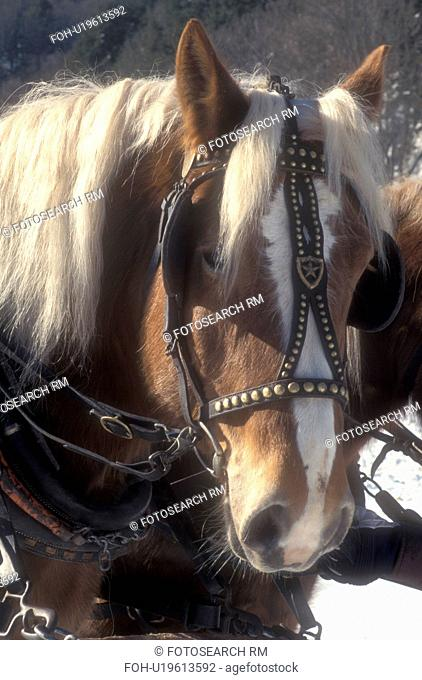 horse, close-up, Vermont, VT, Horses harnessed for sleigh ride at Mad River Valley Winter Carnival at Lareau Farm in Waitsfield. Horse's head up-close