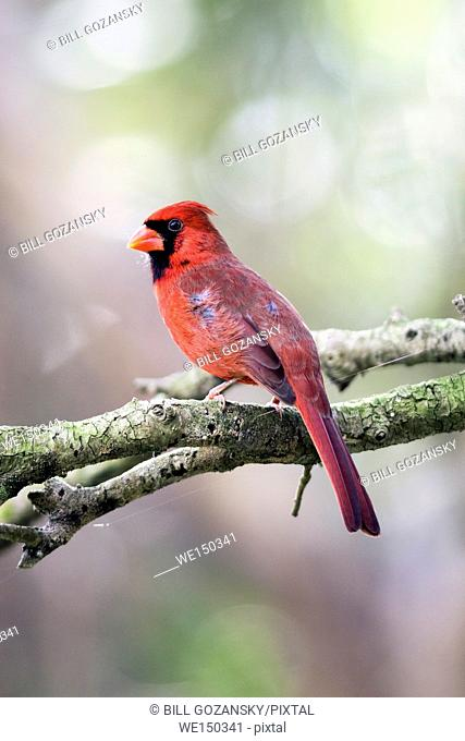 Male Northern Cardinal - Green Cay Wetlands - Boynton Beach, Florida USA