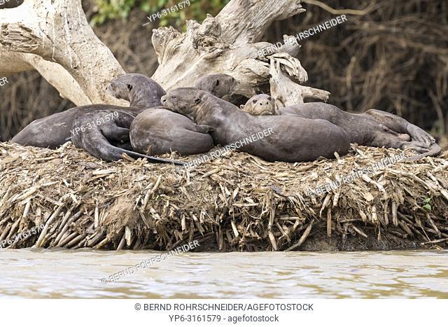 Giant otter (Pteronura brasiliensis), group resting on island in river, Pantanal, Mato Grosso, Brazil