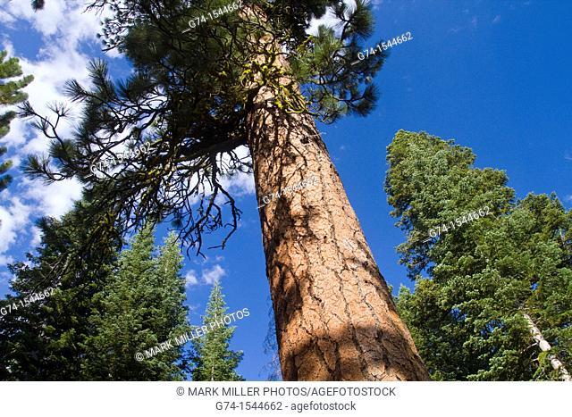 Forest atLassen Volcanic National Park, California, USA