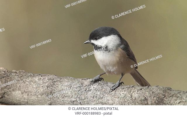 A Black-capped Chickadee Poecile atricapillus perches on a tree limb in Autumn