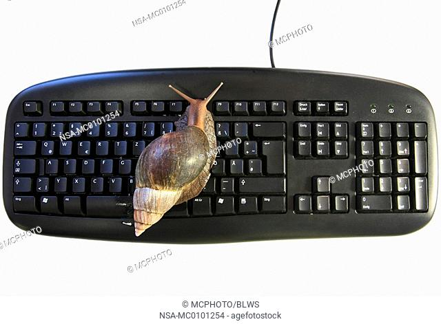 Helix aspersa, Cornu aspersum, Cryptomphalus aspersus, brown garden snail, brown gardensnail, common garden snail, European brown snail