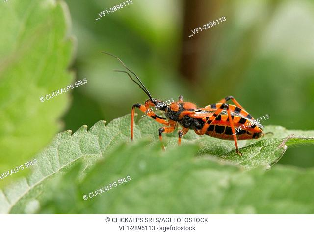 The close-up of assassin bug insect red and black or Rhynocoris iracundus. Lombardy, Italy