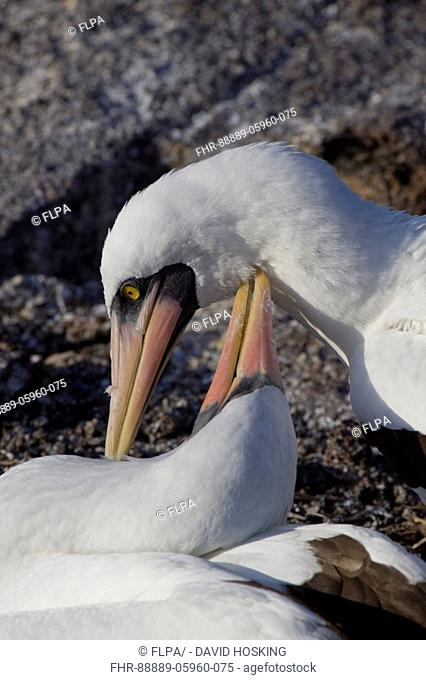 Courting Nazca Boobies, formerly know as the Masked Booby on the Galapagos Islands