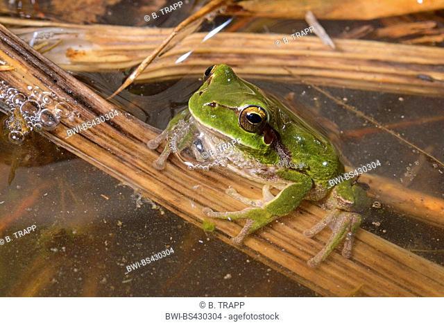 stripeless treefrog, Mediterranean treefrog (Hyla meridionalis), on a blade of reed in water, Spain, Balearen, Menorca