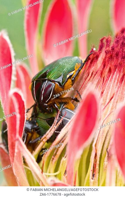 King Protea Protea cynaroides with green beetles at Kistenbosch National Botanical Gardens in Cape Town, South Africa