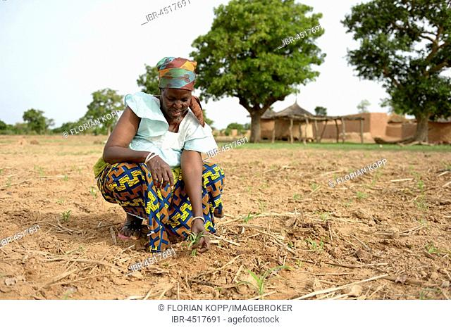 Woman, farmer checking young sorghum plant (sorghum bicolor), Toeghin village, Oubritenga province, Plateau Central region, Burkina Faso