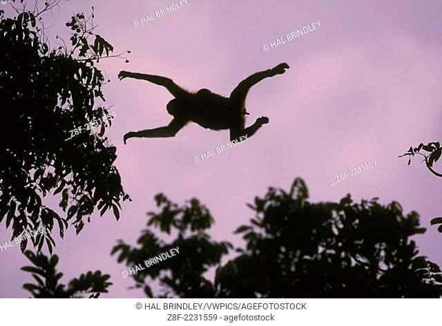 Silhouette of female Geoffroy's Spider Monkey with baby clinging to back leaping between trees - elongated clitoris visible (Ateles geoffroyi)