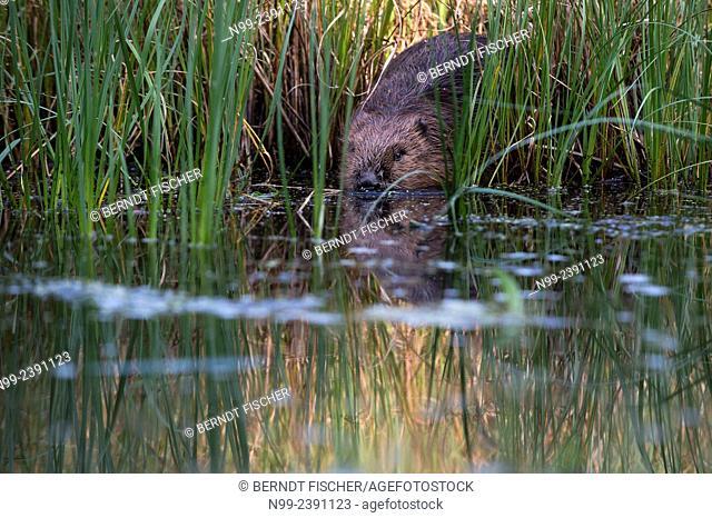 Beaver (Castor fiber), slipping in water, Bavaria, Germany