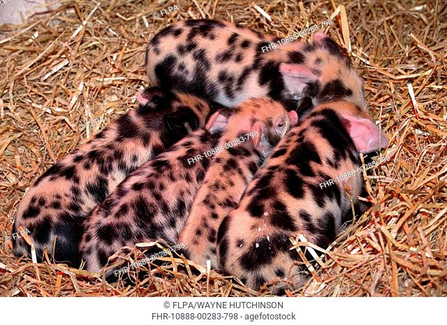 Domestic Pig, Kune Kune piglets, sleeping under heat lamp, England