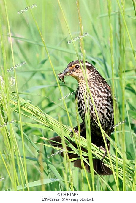 Female red-winged blackbird with food for her young