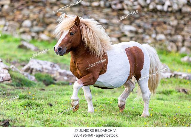 Shetland Pony. Skewbald stallion trotting on a pasture. Shetlands, Unst