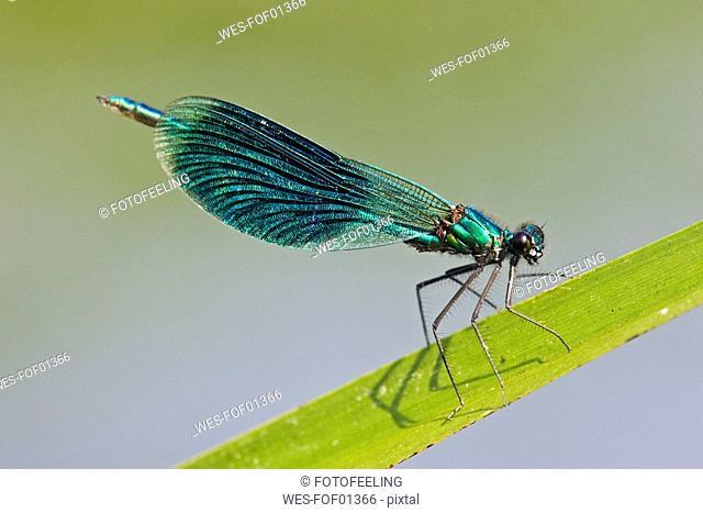 Dragonfly Calopteryx splendens, on leaf, close-up