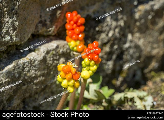 Cuckoo pint flower or arum italicum. commonly known as woodland plant, wake robin or wild turnip Basque country Spain