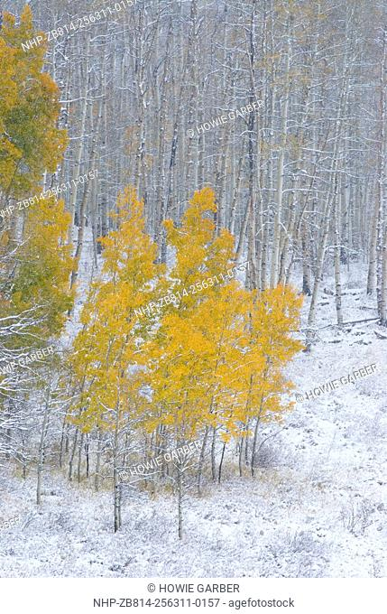 Aspen trees, Fall Snow storm near Encampment Wyoming, Aspen Alley, Battle Mountain Pass, Medicine Bow Mountains and National Forest