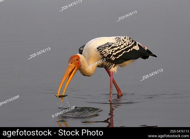 Painted Stork, Mycteria leucocephala with a kill