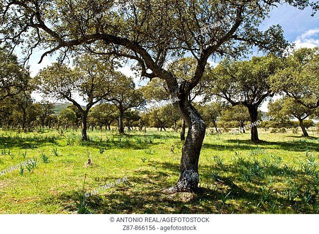 Holm Oaks, Valle de Alcudia, Almodovar del Campo. Ciudad Real province, Castilla-La Mancha, Spain