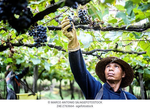 Grape harvest - Rio Grande do Sul - Brazil