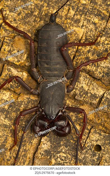 Whip tailed scorpion. Visakhapatnam, Andhra Pradesh, India