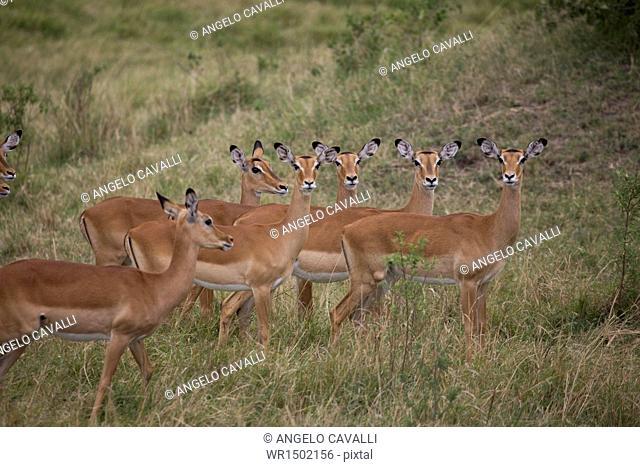 Herd of female impala (Aepyceros melampus), Masai Mara National Reserve, Kenya, East Africa, Africa