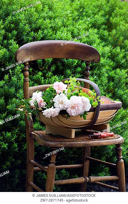 Roses in wooden trug bascket on vintage wooden chair