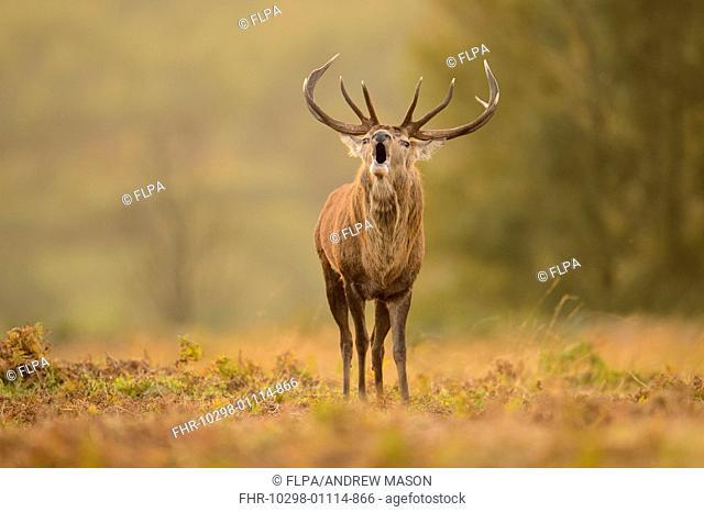Red Deer (Cervus elaphus) mature stag, roaring, during rutting season, Bradgate Park, Leicestershire, England, October